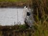 Grey Heron (Ardea cinerea). Copyright 2009 Peter Drury