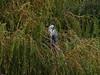 Greenshank (Tringa nebularis). Copyright 2009 Peter Drury<br /> Budds farm Lagoon, Southmoor