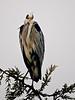 Grey Heron (Ardea cinerea). Copyright Peter Drury 2010