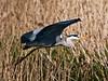 Grey Heron. Copyright 2009 Peter Drury