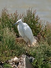 Little Egret (Egretta garzetta). Copyright 2009 Peter Drury<br /> The old oysterbeds, North Hayling Island