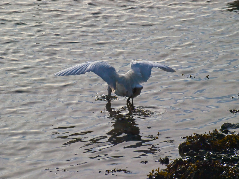 Little Egret. Copyright 2009 Peter Drury<br /> Plunging the bill into the water to catch a fish.<br /> The fishing technique is facinating. The egret will tap around the water with one foot, hoping to cause it's prey to move in alarm. It then dives its bill into the water to catch what it has disturbed.<br /> Langstone harbour.