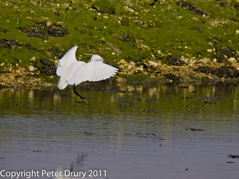 06 March 2011. Little Egret landing in one of the old oysterbeds. Copyright Peter Drury 2011