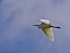 12 April 2011. Little Egret on the Hayling Billy Trail.  Copyright Peter Drury 2011
