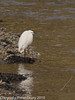 29 Nov 2010 - Little Egret roosting at the Hermitage Stream. Copyright Peter Drury 2010. From RAW file