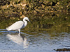 08 February 2011. Little Egret at the Oysterbeds. Copyright Peter Drury 2011