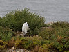 12 Sep 2011 Little Egret sheltering from gale force winds on South Island of the Oysterbed lagoon.