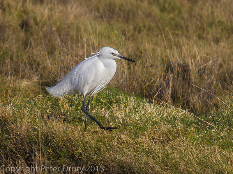 Little Egret on the salt marsh alongside the Hayling Billy trail
