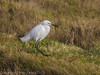 Little Egret on the salt marsh alongside the Hayling Billy trail