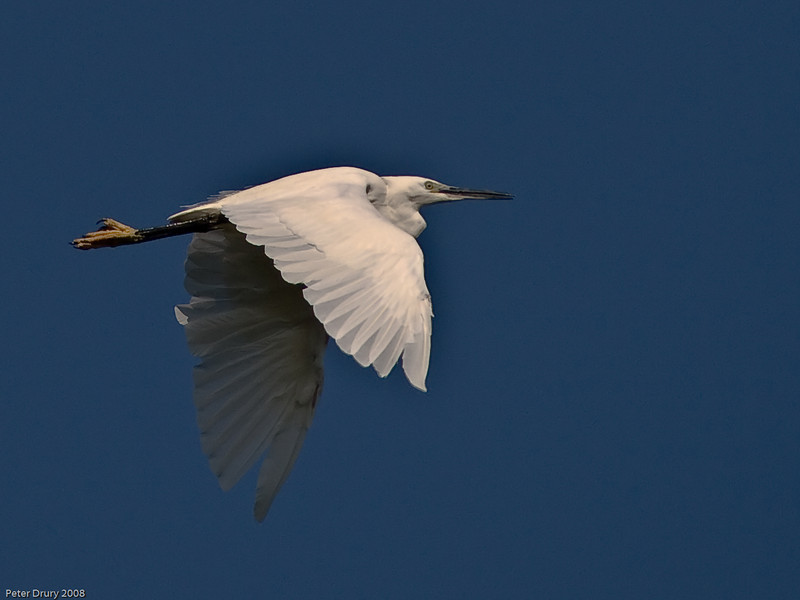 Little Egret. Copyright 2009 Peter Drury<br /> The characteristic flying posture with long neck folded into the body and long legs stretched out behind..<br /> Langstone Harbour.