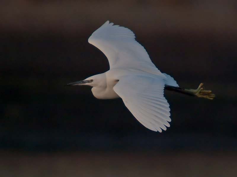 Little Egret (Egretta garzetta). Copyright Peter Drury 2010<br /> Taken late in the day but thought I would give it a try. Flying to the harbour. Note the low sun has tinted the plumage.
