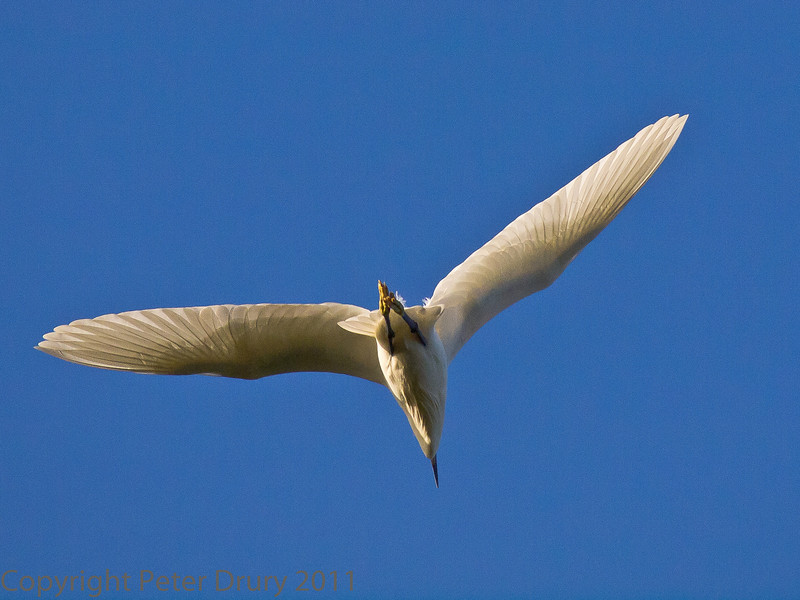 27 Nov 2011 Little Egret over Southmoor.