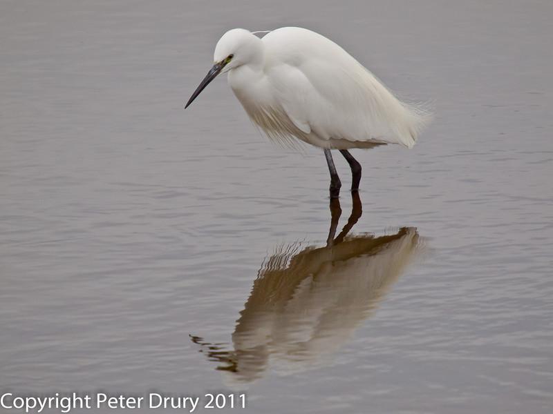 24 January 2011. Little Egret at Farlington Marshes.  Copyright Peter Drury 2011