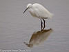24 January 2011. Little Egret at Farlington Marshes.  Copyright Peter Drury 2011