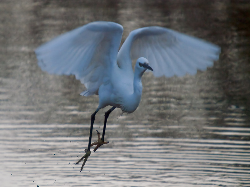 Little Egret (Egretta garzetta). Copyright Peter Drury 2010<br /> Taken late in the day but thought I would give it a try. Taking off from the stream next to the harbour.