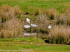 04 March 2011. Little Egret at Southmoor. Copyright Peter Drury 2011