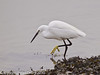 31 Dec 2010. Little Egret at Broadmarsh. Copyright Peter Drury 2011