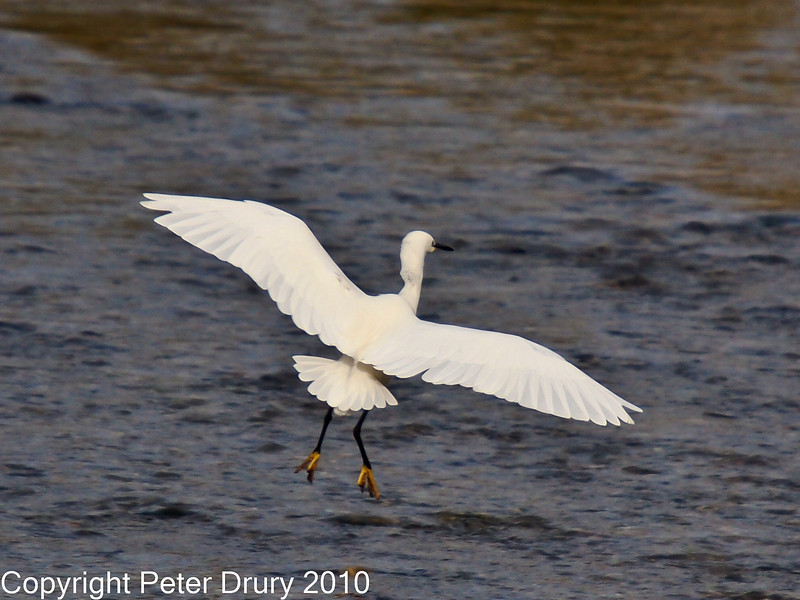 28 Nov 2010 - Little Egret at Broadmarsh. Copyright Peter Drury 2010. Part of E5 Tests<br /> E5 + Sigma 50-500, ISO 400, f7.1, Aperture Priority