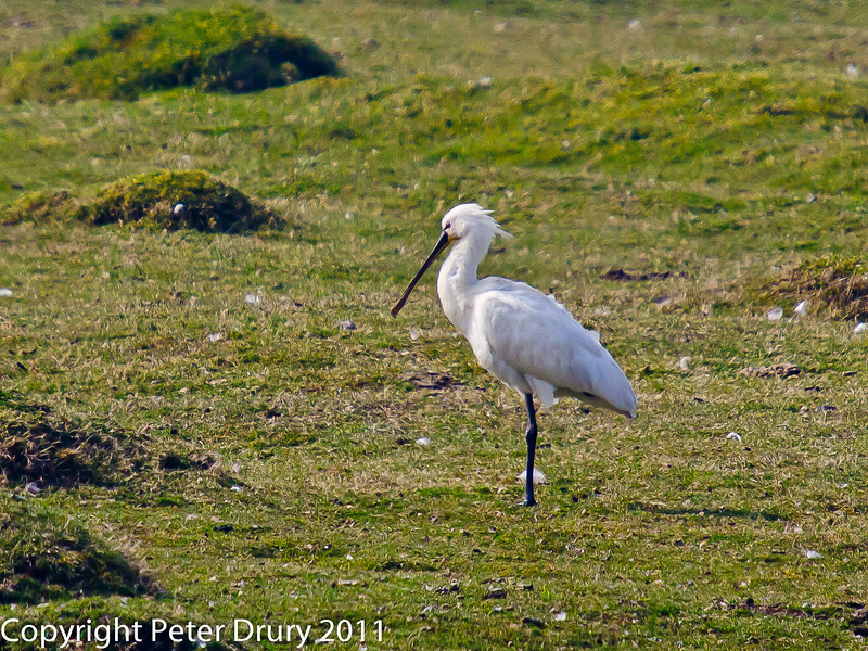 26 March 2011. Spoonbill on Farlington Marshes. Copyright Peter Drury 2011<br /> A single bird visited the site. It has been here for just over a week at 'the deeps' on Farlington Marshes.
