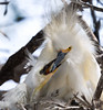 Snowy Egret with Chick