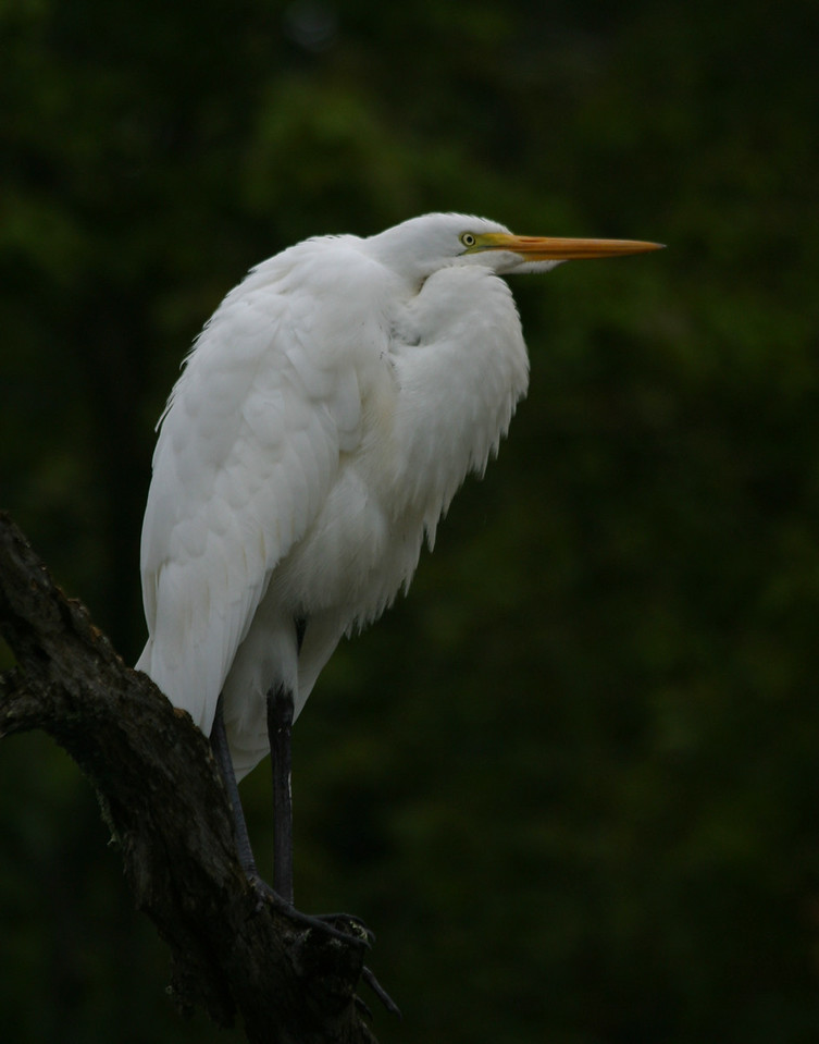 Great Egret - sized for 11x14 printing.
