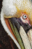 Brown Pelican Closeup
