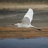 White-morph Reddish Egret