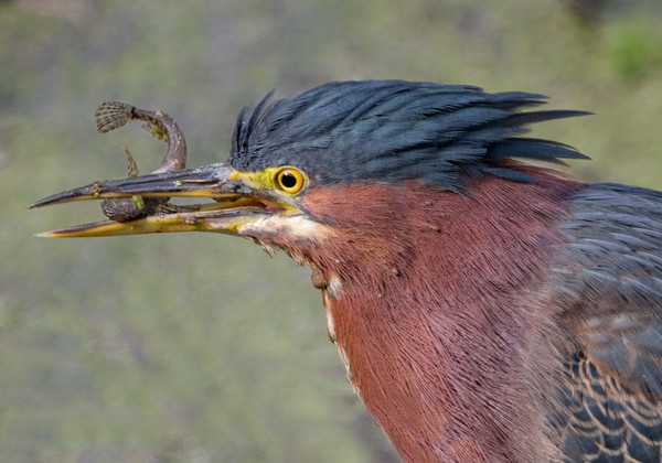 Green Heron with a Snack