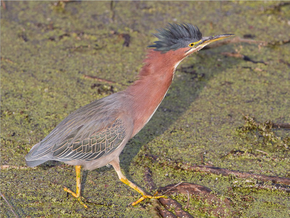 Green Heron Having a Bad Hair Day