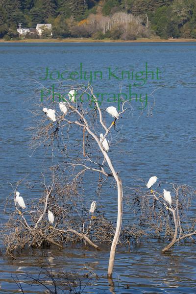 Egrets2619
