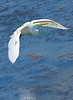 Great White Heron0910