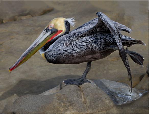 Brown Pelican in Ballet Class