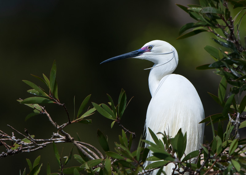 Little Egret (Ardea intermedia)
