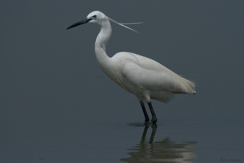 little egret לבנית קטנה