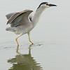 night heron (black caped) אנפת לילה