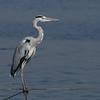 gray heron אנפה אפורה