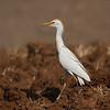 cattle egret אנפית בקר