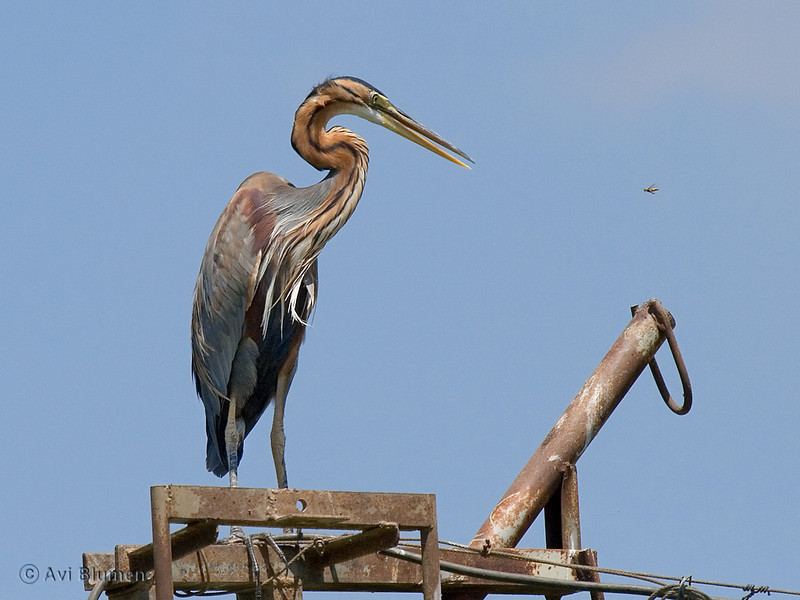 purple heron אנפה ארגמנית