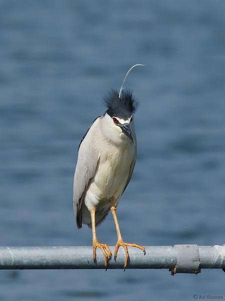Fancy haircut דרוש פן דחוף<br /> night heron (black caped) אנפת לילה