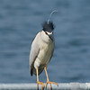 Fancy haircut דרוש פן דחוף<br /> night heron (black caped) אנפת לילה