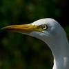 catlle egret אנפית בקר