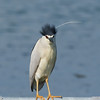 Fancy haircut דרוש פן דחוף<br /> <br /> night heron (black caped) אנפת לילה