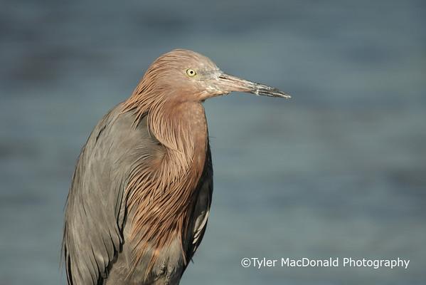 Reddish Egret, Tiger Tail Beach, Marco Island, FL