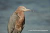 Reddish Egret, Tiger Tail Beach, Marco Island, FL
