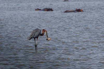 Goliath Heron, Selous