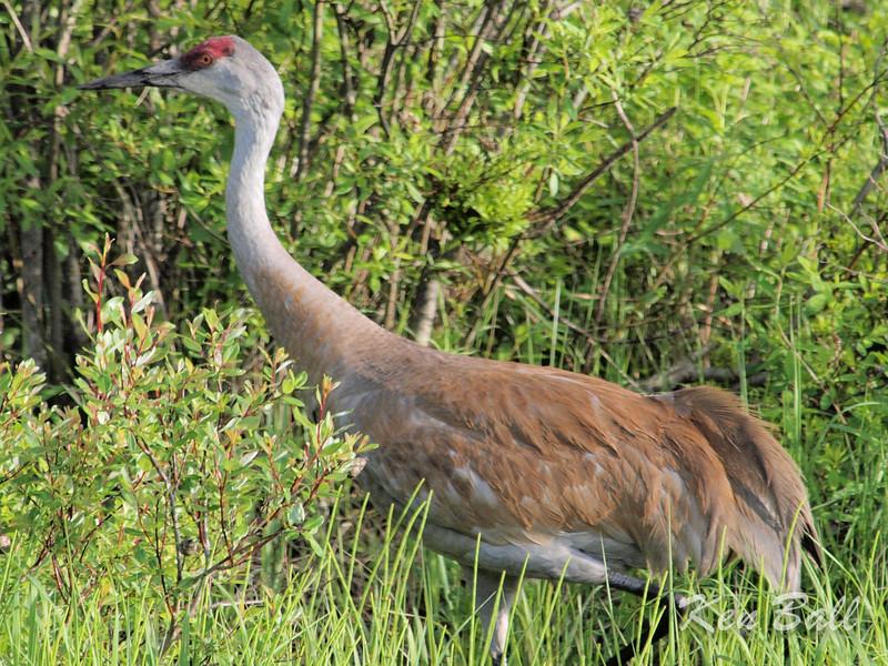 Ontario, sandhill crane: Grus canadensis