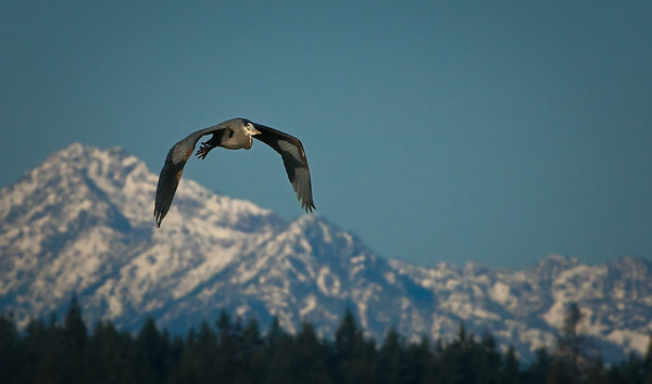 Great Blue Heron - Olympic Mountains in the background