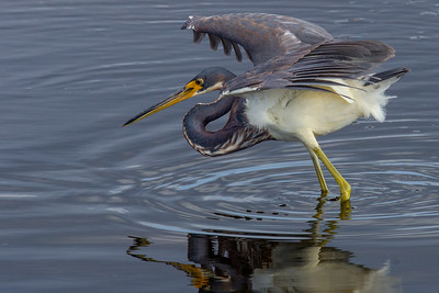 Foraging Tricolored Heron