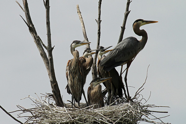 Great Blue Heron Family (Ardea herodias)