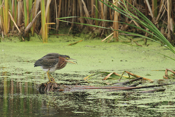 Green Heron With Minnow #3 (Butorides virescens)